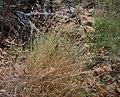 Kangaroo grass.jpg
