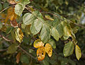 Kanju (Holoptelea integrifolia) in Hyderabad, AP W IMG 4661.jpg