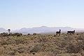 Karoo National Park 2014 27.jpg