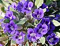 Karoo Violets (Aptosimum indivisum) (32384085850).jpg