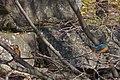Kawasemi (Common King Fisher) - カワセミ - panoramio.jpg