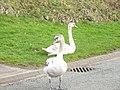 Kerb crawling swans at Parc Menai - geograph.org.uk - 367093.jpg