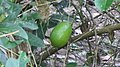 Kiji nemu (Citrus limon).jpg