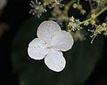 Klimhortensia of Hydrangea anomala petiolaris 03.JPG