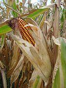 Klip kukuruza uzgojen u Međimurju (Croatia)