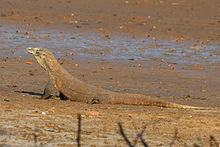 科摩多巨蜥