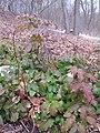 Korina 2013-03-05 Mahonia aquifolium.jpg