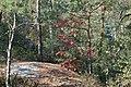Korina 2015-10-10 Quercus rubra 2.jpg