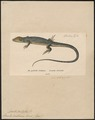 Lacerta boskiana - 1700-1880 - Print - Iconographia Zoologica - Special Collections University of Amsterdam - UBA01 IZ12400109.tif