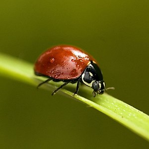 English: Red ladybug seen from the side