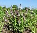 Lamiaceae - Metuge District (11669225534).jpg