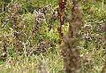 Lapland Bunting North Ronaldsay 0910 (8266860846).jpg