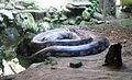 Large Python Ragunan Zoo.jpg