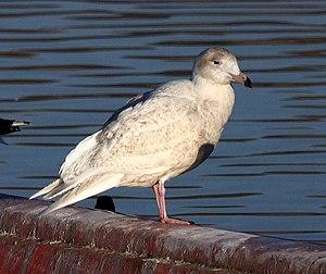 Glaucous gull - Immature plumage