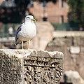 Larus michahellis in Forum Romanum (4).jpg