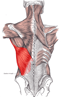 latissimus dorsi muscle - wikipedia, Human Body