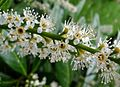 Laurel flowers - Flickr - gailhampshire.jpg