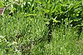 Lavandula angustifolia Munstead 5zz.jpg