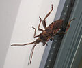 Leaf-footed bug 2011 09 27 003.jpg