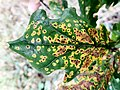 Leaf Spot on Oak in Gunnersbury Triangle.jpg