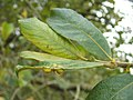 Leaf galls on eared willow - geograph.org.uk - 952109.jpg