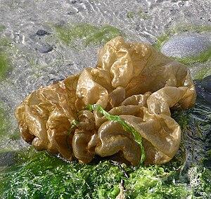 Ectocarpales - Leathesia difformis