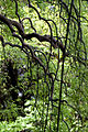 Leaves, Weeping Japanese pagoda tree - Flickr - nekonomania (2).jpg