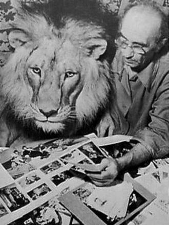 Wildlife of Azerbaijan - Image: Leeuw King de 2e als huisdier van de familie Berberov uit Baku