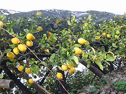 Lemon tree Italy.JPG