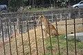 Leoa Zoo-Botânica de Belo Horizonte - MG.jpg