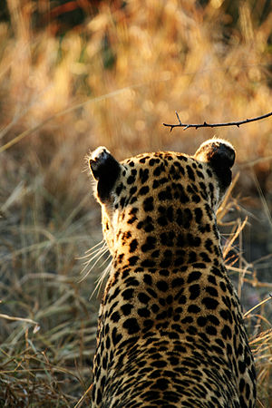 Photo by Lee Berger. View from rear of Leopard...