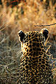 Leopard rear view soft.jpg