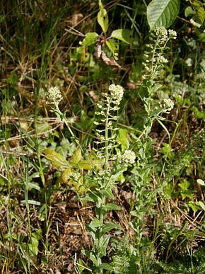 alt=Description de l'image Lepidium campestre 01.jpg.