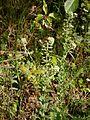 Lepidium campestre 01.jpg