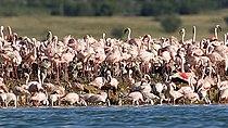 Lesser Flamingos, Kamfersdam breeding island, 2008.jpg