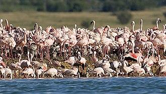 Kamfers Dam - Lesser flamingos on Kamfers Dam's artificial breeding island, 2008