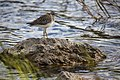 Lesser Yellowlegs - Tringa flavipes (21409869918).jpg