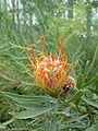 Leucospermum cordifolium02.jpg