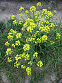 Leutratal-Sinapis-arvensis-2416.jpg