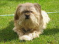 Lhasa-apso-rolly.jpg