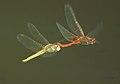 Libelulas - dragonfly (sex in flight) (249928071).jpg