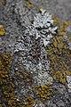 Lichen (35144329624).jpg