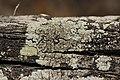 Lichen (42174445714).jpg