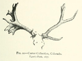 Life Histories of Northern Mammals (1909) Cervus canadensis abnormal antlers 1.png