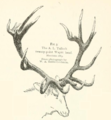 Life Histories of Northern Mammals (1909) Twenty point Cervus canadensis.png