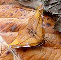 Lilac Beauty. Apeira syringaria - Flickr - gailhampshire.jpg