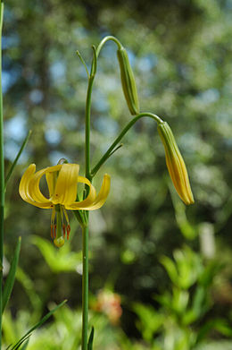 Lilium callosum 2