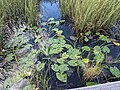 Lillypads Everglades.jpg