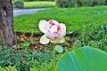 Lily flower - panoramio.jpg