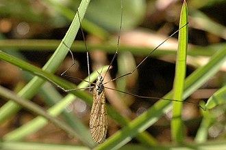 Limnophila schranki - Image: Limnophila.schranki